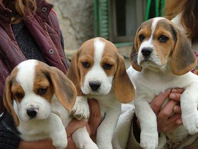 Bari Beagle Day: programma manifestazione oggi 29 settembre