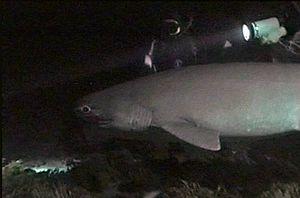 Avvistato-un-grosso-squalo-a-Messina-e-fotografato-un-raro-esemplare-di-squalo-volpe-in-Galles