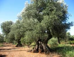 Strage ulivi in Puglia: timore che la malattia si propaghi in tutta la regione