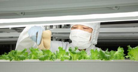 Giappone-idea-innovativa-l-insalata-prodotta-con-luci-a-led