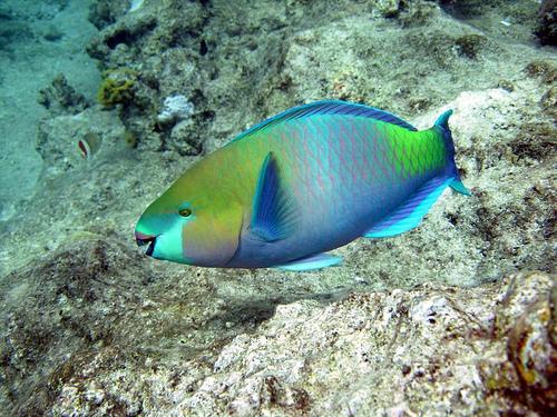 Pappagallo3 - Pagina di colorazione del pesce ...