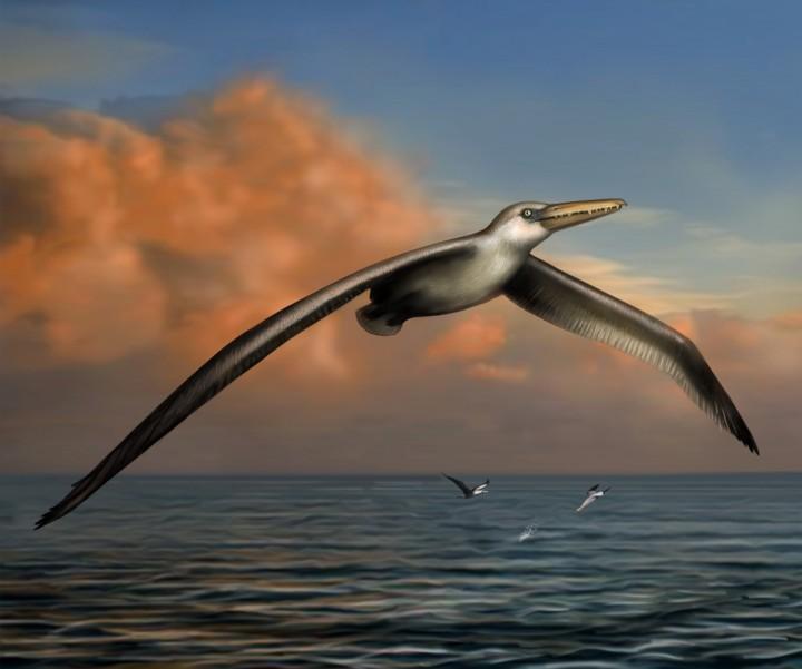 Pelagornis-Sandersi-più-grande-uccello-mai-esistito-con-7-metri-apertura-alare