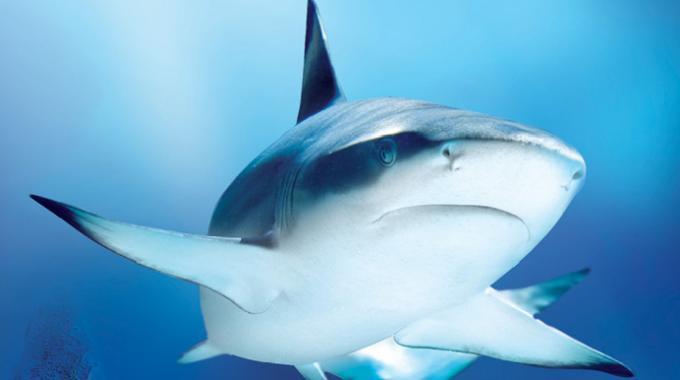 A-pochi-chilometri-da-Roma-ad-Ostia-è-oramai-allerta-squalo