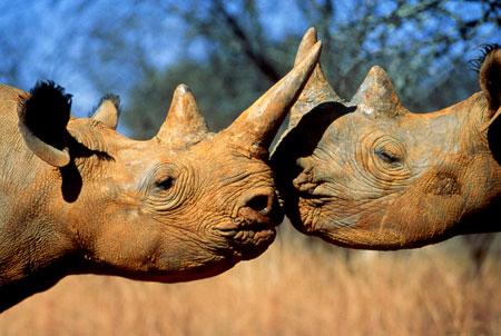 Sudafrica-Kruger-Park-iniziata-la-più-grande-evacuazione-della-storia-di- Rinoceronti