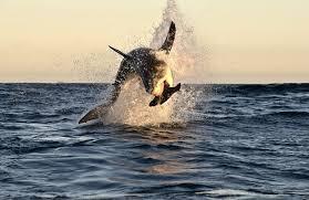 Il-terrore-continua-ad-Ostia-nuovo-avvistamento-di-uno-squalo-panico-tra-bagnanti