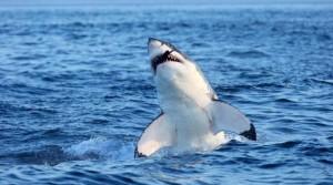 Sardegna-avvistato-enorme-squalo-attimi-di-confusione-sulla-spiaggia-di-Badesi