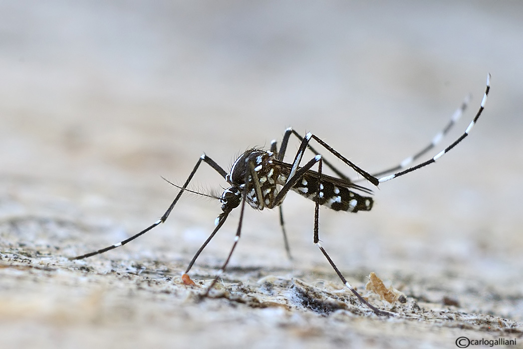 Soliera-l-incubo-virus-Chikungunya-non-è-ancora-terminato-comune-prosegue-disinfestazione