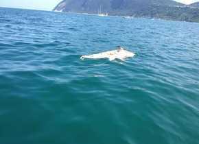 """Ricercatori della """"Fondazione Cetacea"""" hanno avvistato e fotografato un rarissimo delfino albino"""