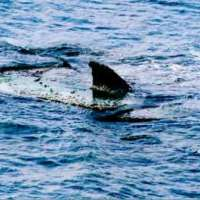 Ostia-paura-in-spiaggia-per-presenza-grosso-squalo-in-mare