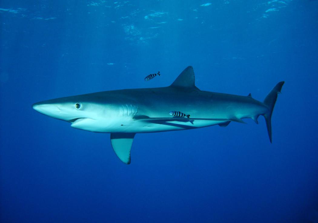 E-l-estate-degli-avvistamenti-degli-squali-dopo-la-Sardegna-tocca-ad-Ostia