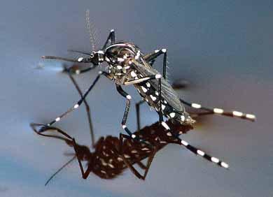 Paura a Soliera per persona contagiata da Virus Chikungunya contratto in vacanza