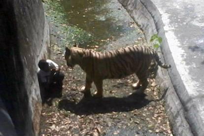 Orrore-in-India-ragazzo-sbranato-da-tigre-bianca-in-uno-zoo