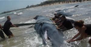 Vasto-bilancio-tragico-per-i-7-capodogli-spiaggiati-4-non-sono-sopravvissuti