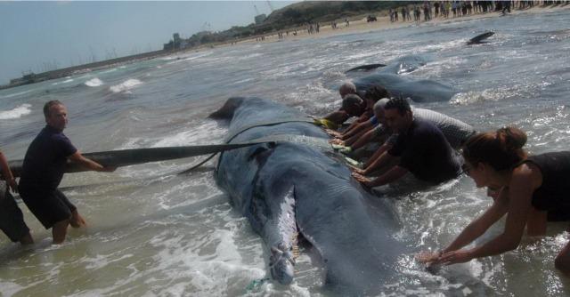 Vasto bilancio tragico per i 7 capodogli spiaggiati,  4 non sono sopravvissuti