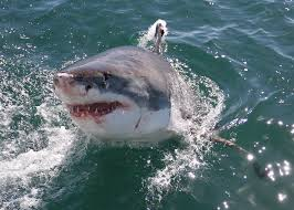 Orrore in Australia, un uomo è stato sbranato da squalo bianco