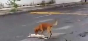 Messico-cane-cerca-di-salvare-il-suo-amico-investito-da-un-auto