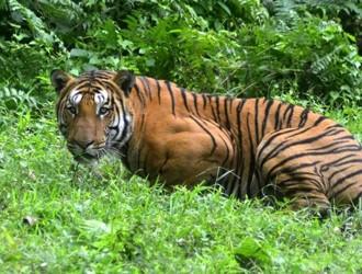 India-tigri-aumenta-il-numero-800-esemplari-in-più-in-7-anni