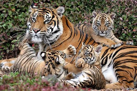 Tigri-Panda-e-Rinoceronti-a-breve-potrebbero-estinguersi