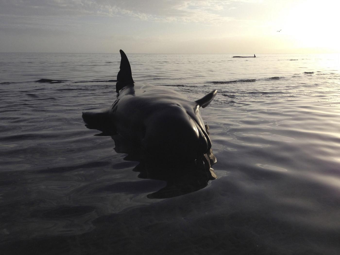 Australia-choc-16-balene-spiaggiate-12-sono-morte