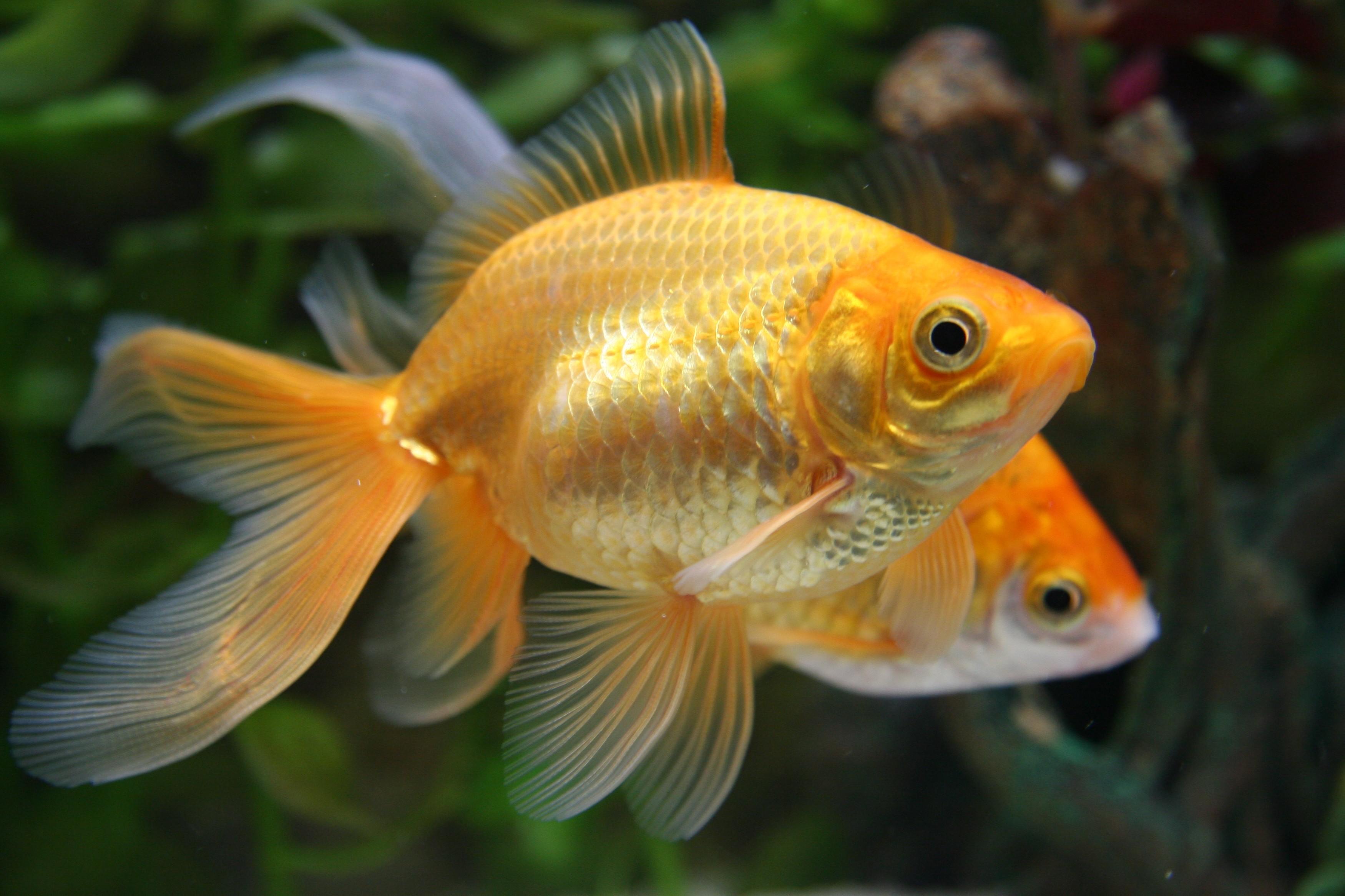 Con l 39 uso dei tablet la nostra attenzione come quella for Immagini di pesci disegnati