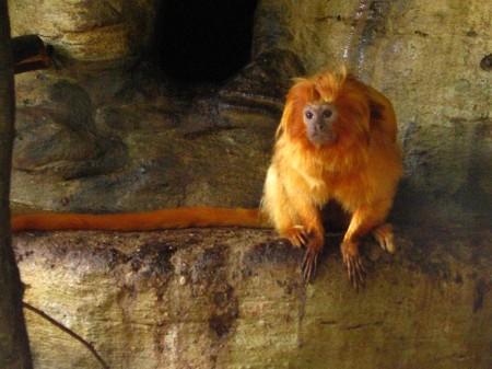 Francia-17-scimmie-rare-sparite-dallo-zoo-di-Beauval