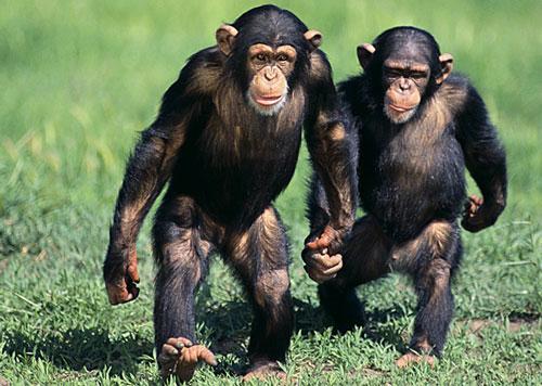 Il-mal-di-schiena-è-stato-ereditato-dai-scimpanzé