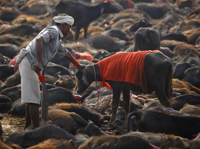 Nepal-stop-a-sacrificio-animali-per-Gadhimai-Festival