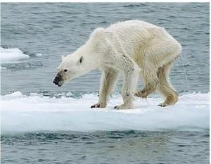 Orso-bianco-denutrito-la-foto-commuove-tutto-il-mondo