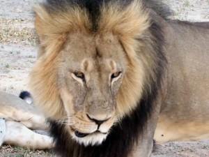 Zimbabwe-il-killer-del-leone-Cecil-dice-ho-agito-legalmente