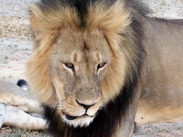 Zimbabwe-Walter-Palmer-dentista-che-uccise-il-leone-Cecil-non-sarà-incriminato