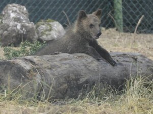 Abruzzo-l-orsetta-Morena-abbandonata-dalla-madre-presto-in-libertà