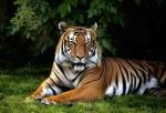 Nuova-Zelanda-orrore-allo-zoo-guardiana-sbranata-da-una-tigre-300x204