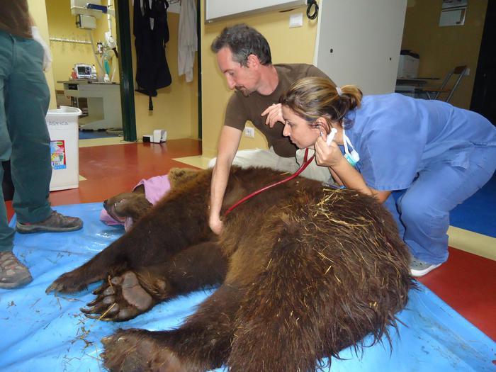 Orso bruno operato di ernia del disco, intervento durato 12 ore