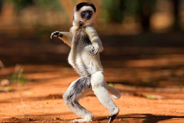 Madagascar progetto italiano salva i lemuri e 1600 ettari di foresta pluviale