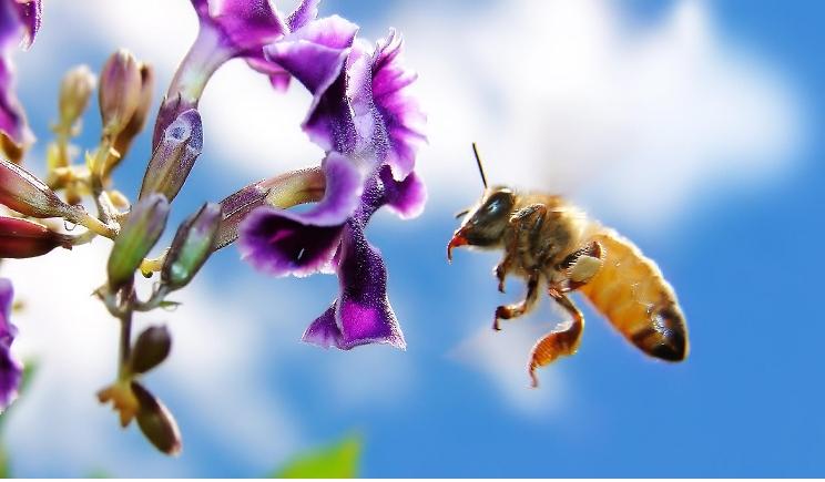 Le-api-riescono-a-trasportare-i-pesticidi-su-piante-e-fiori