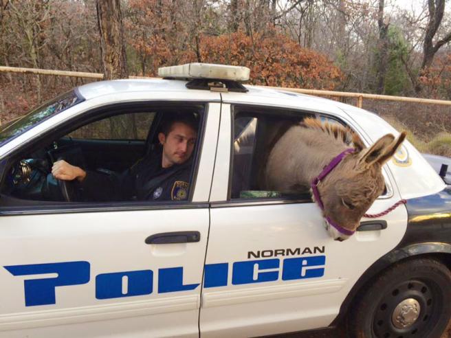 Oklahoma-la-polizia-arresta-un-asino-e-la-foto-diventa-virale