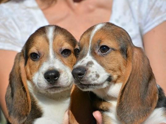 Cani-in-provetta-dopo-40-anni-di-ricerche-concepiti-i-primi-7-cuccioli
