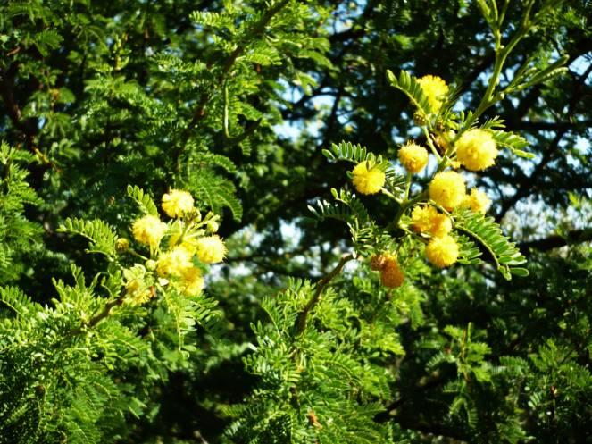 Natale-per-le-temperature-la-natura-è-impazzita-con-mimose-e-zanzare