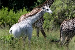 Tanzania-fotografato-rarissimo-esemplare-di-giraffa-bianca