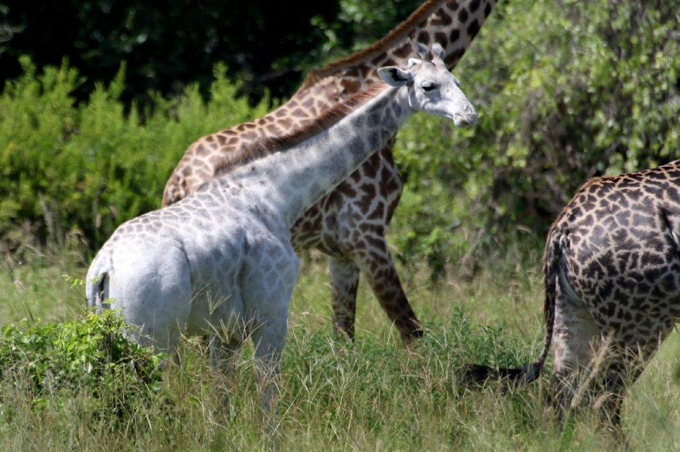 Tanzania, fotografato rarissimo esemplare di giraffa bianca