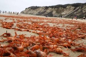 Le-acque-del-mare-sono-troppo-calde-i-granchi-colonizzano-la-terra