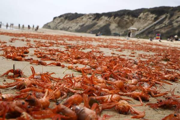 Le acque del mare sono troppo calde, i granchi colonizzano la terra