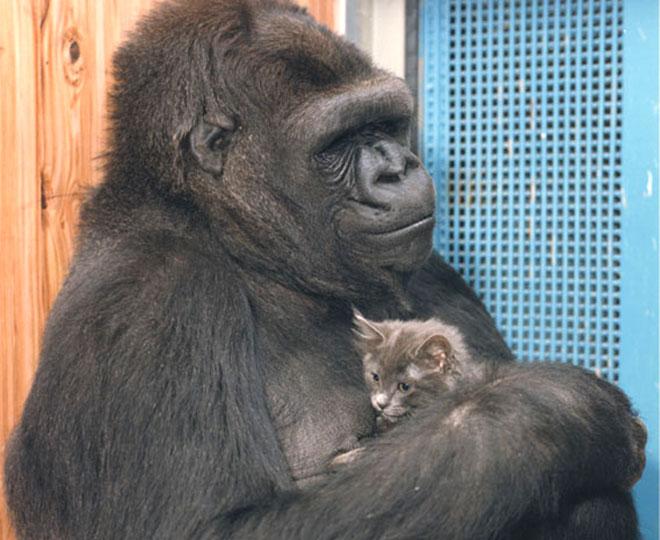 Gorilla Koko discorso choc l'uomo è stupido, video