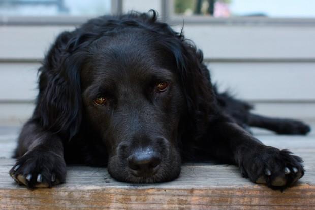 I cani riconoscono le emozioni degli uomini, se si è felici o tristi