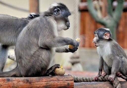 Bioparco di Roma, emergenza freddo ai scimpanzè serviti latte e tè caldo