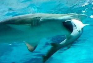 Seul-squalo-tigre-divora-in-un-acquario-un-altro-squalo