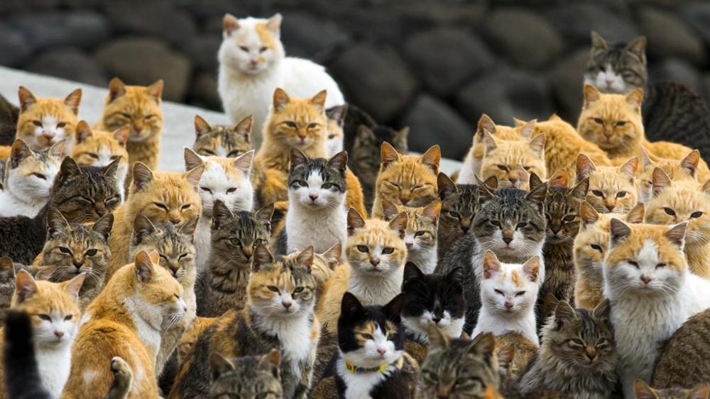Festa-del-gatto-in-Giappone-sono-i-padroni-di-un-isola