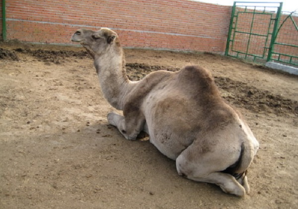 Napoli, sequestrato zoo abusivo con più di 100 animali, con dromedari e lama