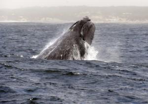 Balene-per-salvarle-si-può-guardare-un-video-su-Pornhub