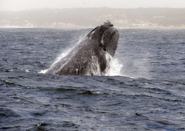 Balene per salvarle si può guardare un video su Pornhub